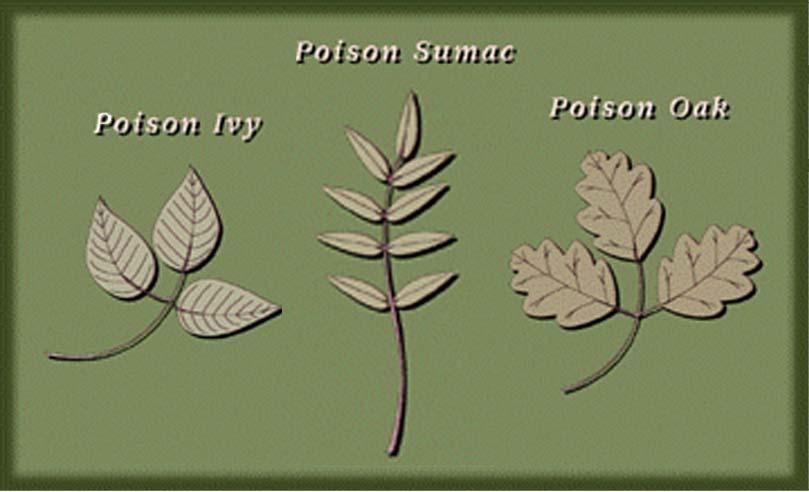 poison oak rash vs poison ivy. poison sumac rash photos.